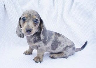 solid blue dachshund puppies for sale the 25 best ideas about blue dapple dachshund on haired miniature