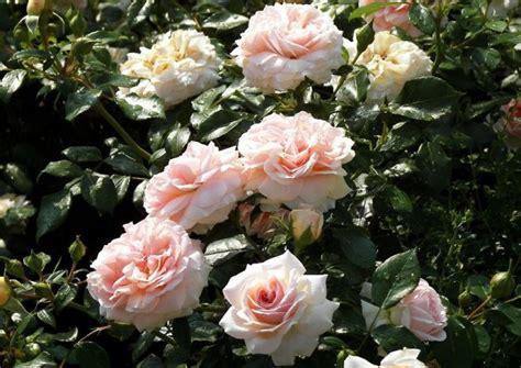 Garden Of Rosa E Garden Of Roses Hellrosa Beetrose