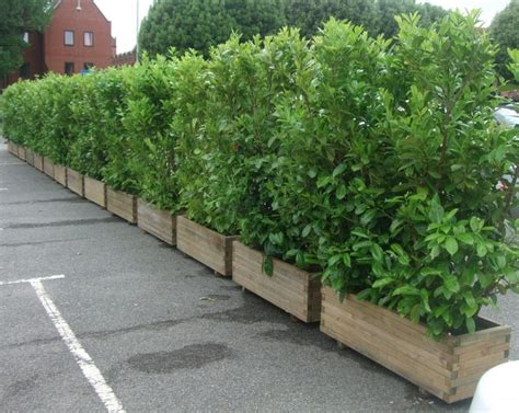 Hedge In Planter Boxes by Hedge Filled Pots Search Hedges