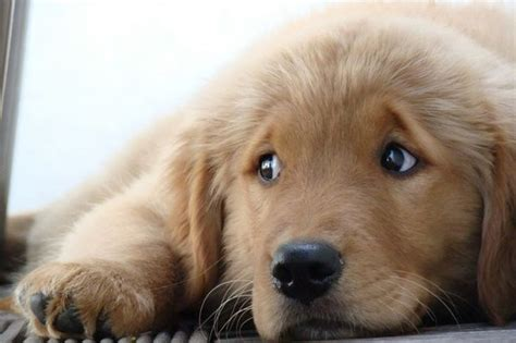 really golden retriever puppies 25 reasons golden retrievers are actually the worst dogs to live with