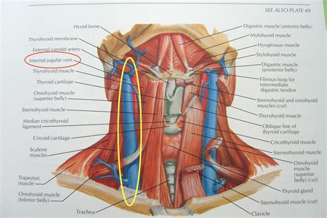 the anatomy of a throat anatomy pictures tonsil pictures