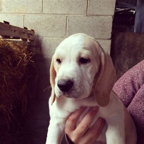 white beagle puppies lemon white beagle puppy for sale carlisle cumbria pets4homes