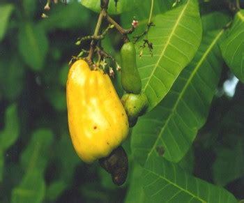 Jambu Monyet Besar buah semu annonawinnie s