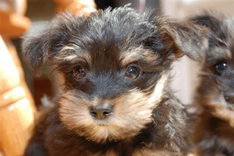 schnorkie puppies for sale schnorkie schnauzer yorkie puppies only 1 left toronto dogs for sale