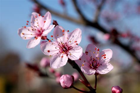 blossom cherry picture cherry blossom 2 by rickygw on deviantart