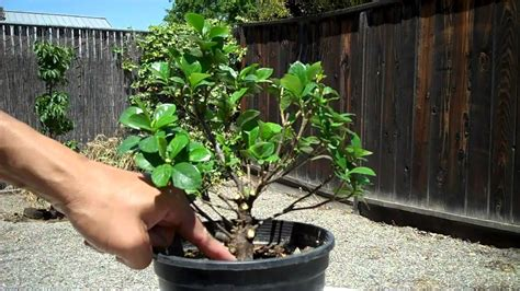 Gardenia Pruning Creating A Gardenia Bonsai Part 2 Finalize Pruning