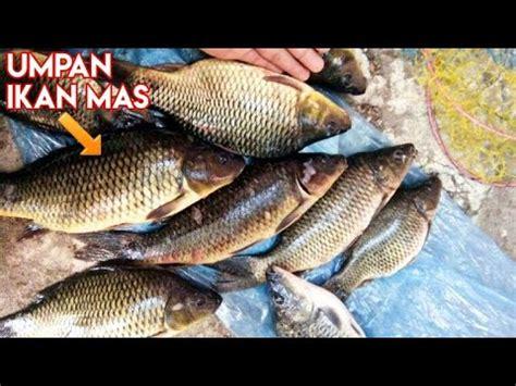 Harga Umpan Ikan by Umpan Putih Buat Mancing Ikan Umpan Jitu Harga Pass