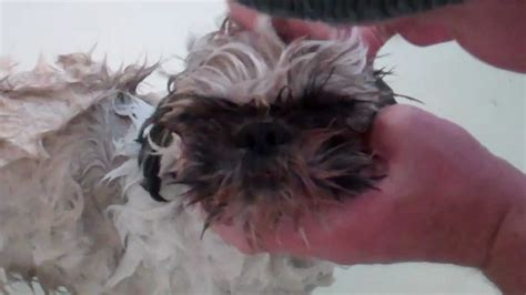 how to bathe a shih tzu how to bathe a stinky shih tzu