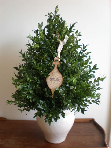 how to make a tabletop boxwood tree behnke nurseries garden center