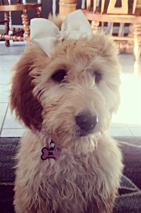 irish setter poodle mix 1000 images about doggonedoodles3 on pinterest
