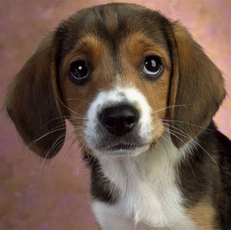 beagle puppy beagle puppies photograph the in world beagle dogs