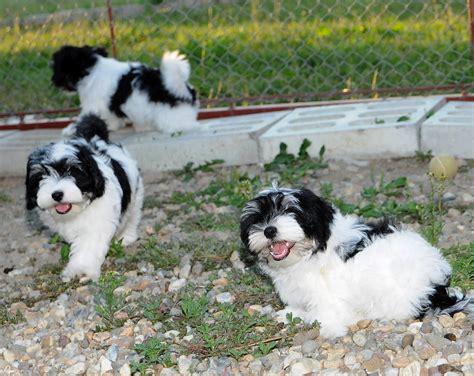 havanese prezzo bichon avanese cuccioli di razza bichon havanese molto belli 2 maschi e una femmina