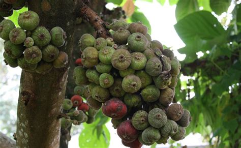 Minyak Zaitun Di Malaysia gaya peneroka ini bukan buah ara buah zaitun
