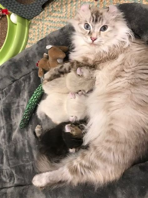 american curl kittens  sale procurl harem kitten sale