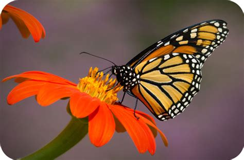 Butterfly Meaning In Animal Symbolism Butterfly Meanings