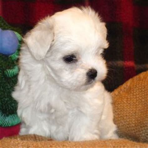 yorkie white purebred and partly white yorkietalk forums terrier community