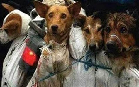 annual for dogs stopyulin2015 10 000 dogs tortured as part of annual yulin festival