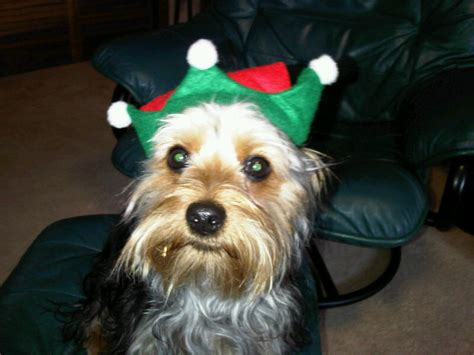 yorkie vs silky pictures silky vs terrier breeds picture