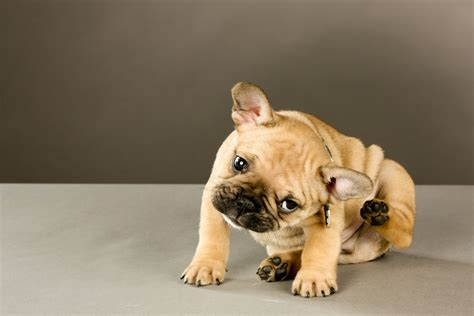 what to do when your has puppies what to do if your pet has fleas