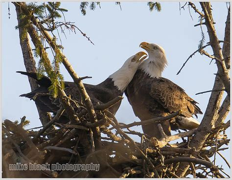bald eagle mating season flickr photo sharing