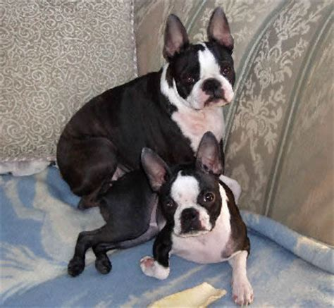 boston bull terrier puppies boston terrier boston bull breed guide information and pictures
