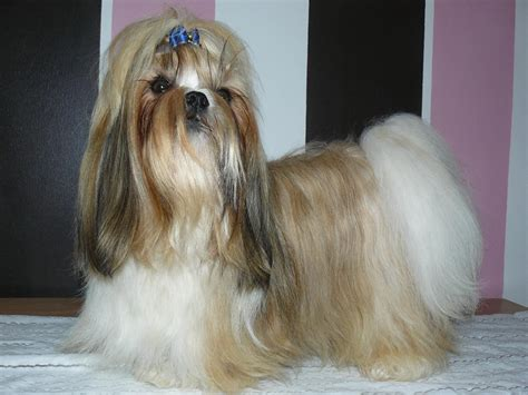 best shoo for a shih tzu shih tzu standard breeds picture