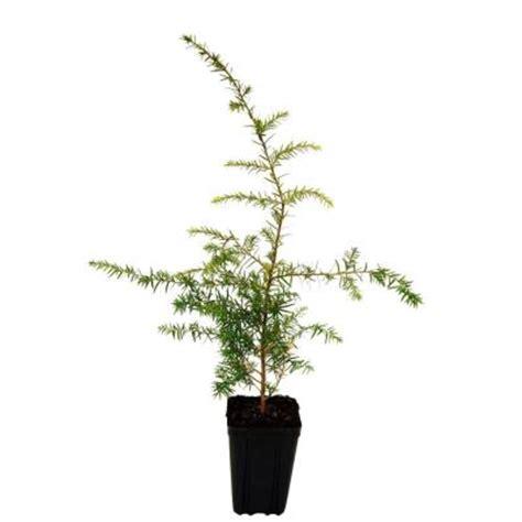 evergreen nursery 1 qt canadian hemlock christmas tree