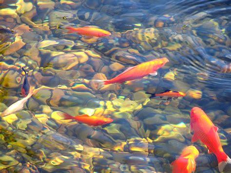 imagenes de zen koi koi fish pond 183 free photo on pixabay