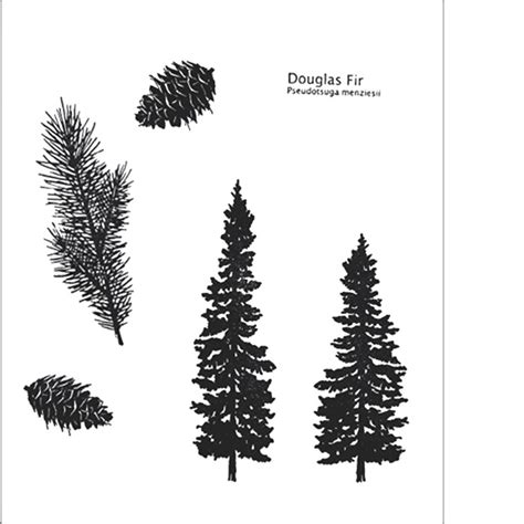 douglas fir tattoo douglas fir st collection evergreen conifer pine