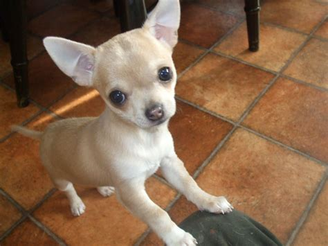 fawn puppy beautiful lilac fawn chihuahua puppy ripley derbyshire pets4homes