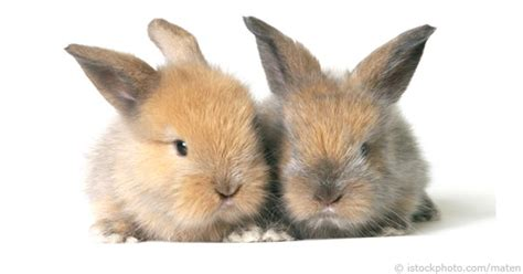 Im In Vegas With Bunnys Help 2 by Selecting A Healthy Rabbit