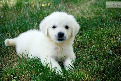 golden retriever puppies for sale in missouri golden retriever puppies for sale breeds picture