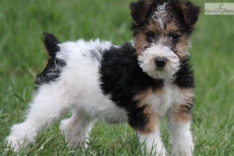 wire hair fox terrier puppies for sale wire haired fox terrier puppies for sale in south africa breeds picture