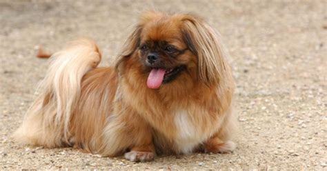 when can i bathe my shih tzu puppy how often should i bathe my shih tzu puppy ehow uk