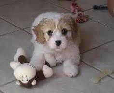 cavachon puppies ohio cutie pies on labradoodles poodle and havanese puppies