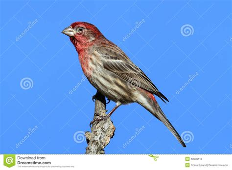 mexican house finch for sale male house finch carpodacus mexicanus royalty free stock
