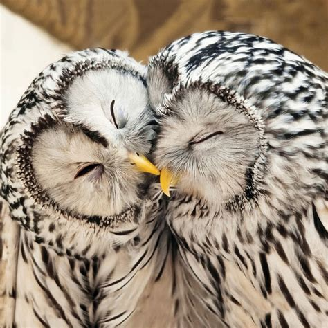 Owl Lovers by Ural Owls Greeting Card Rspb Greetings Cards Rspb Shop