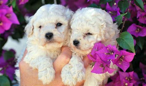 toelettatura cani pavia toelettatura barboncino cani taglia mini come viene