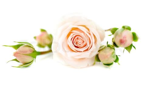 Home Decoration With Plants by Fresh Pink Roses Border Isolated On White Background