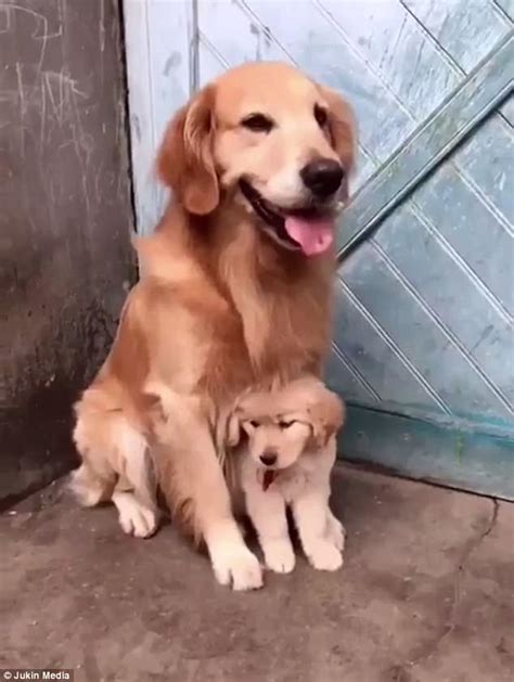 golden retriever protects baby adorable shows protect puppy from real world express digest