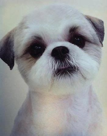 round face dog cut dog grooming cornwall and shih tzu on pinterest