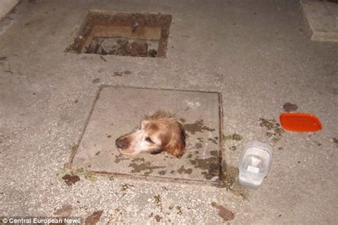 dogs getting stuck has to be rescued after getting stuck in a sewer daily mail