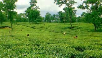 beautiful bangladesh tea garden