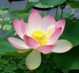Lotus Flower Plant Nelumbo Nucifera