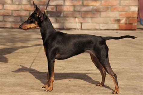 manchester terrier puppies manchester terrier puppies for sale from reputable breeders