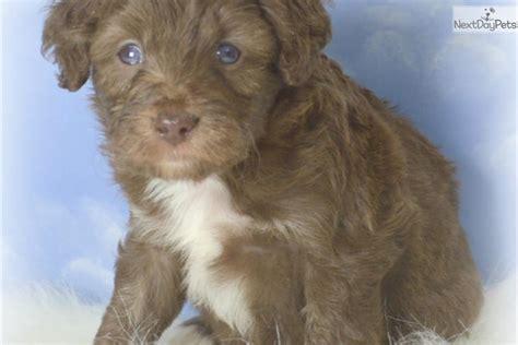 mini aussiedoodle puppies for sale near me aussiedoodle puppy for sale near cariboo columbia 01897130 3b51