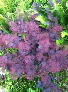 smoke bush gardens pinterest