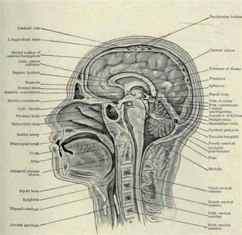 sagittal section of head frozen sections