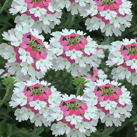 imagenes de flores verbenas verbena pink twister gran variedad de colores planta