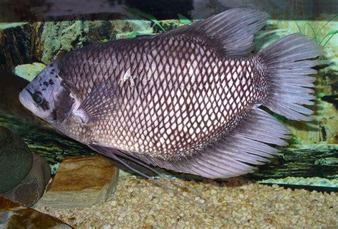 Benih Ikan Gurame Di Lung gurami bahasa indonesia ensiklopedia bebas